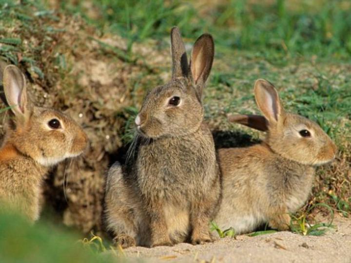 Tavşanlar Hakkında Bazı Küçük Bilgiler