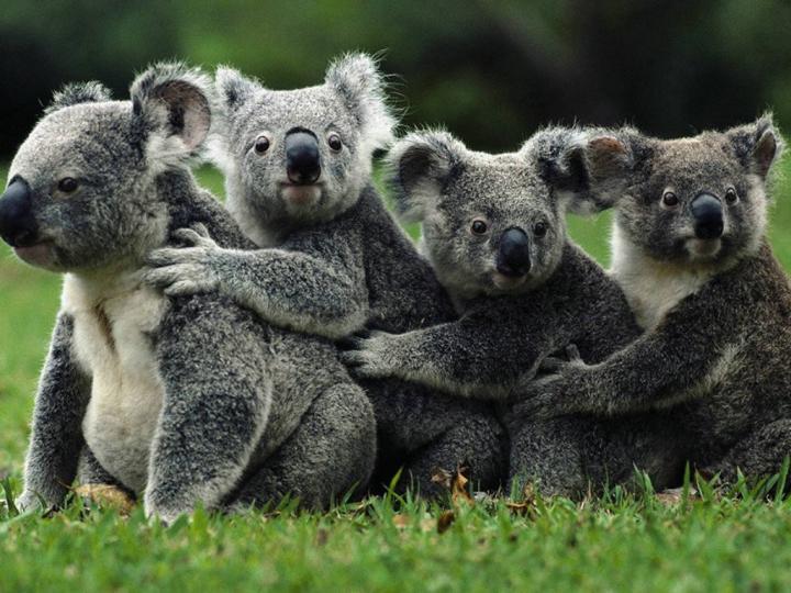 Koalaların Popülasyonu