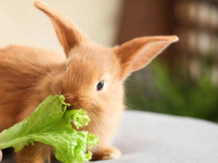 Tavşanların Beslenme Alışkanlıkları