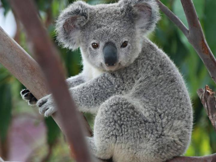 Koalaların Tarihçesi