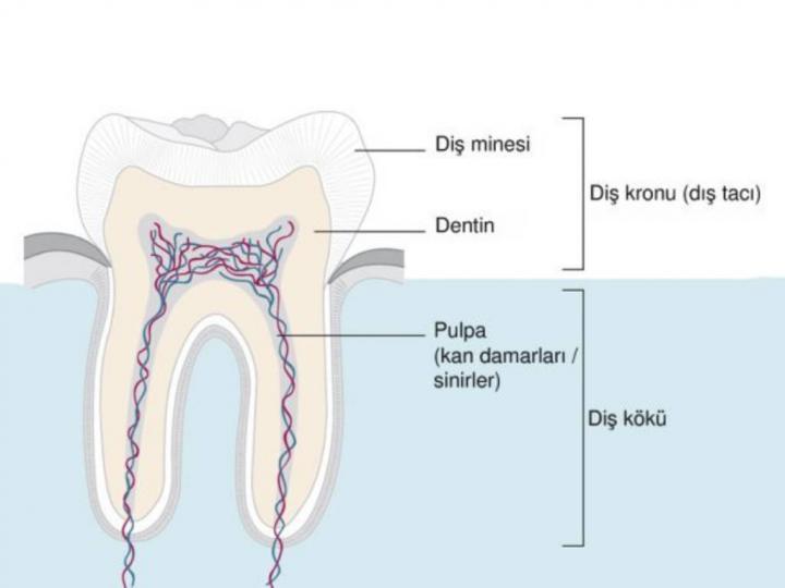 İnsan Dişinin Yapısı