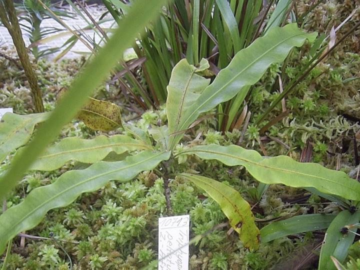 Tryphiophyllum