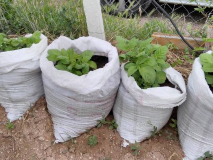 Evde Patates Yetiştirmek