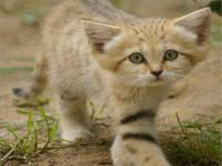 Kum Kedileri